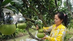 Farmers sell 'strange' Tet fruit