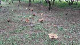 Huế: Xuất hiện nhiều cây nấm to lớn khác thường