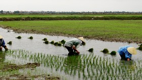 Thousands of hectares of crops in Quang Binh destroyed due to damaged cold