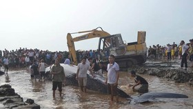 Giant whale found on shore in Nghe An province released to sea