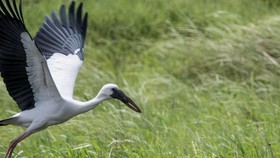 Endangered Asian openbill storks spotted in Lao Cai