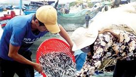 Tận diệt cá cơm ảnh hưởng sản lượng nước mắm