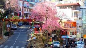 Da Lat to kick off first cherry blossom festival