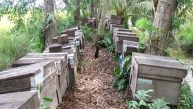 Di dời đàn ong Ý ra khỏi rừng U Minh Hạ