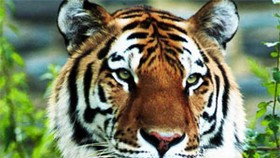 Study Finds Tigers in Viet Nam, Aims to Boost World Population