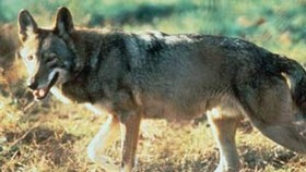 Rare Red Wolf Tracks Spotted in National Park