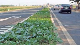 Hanoi grows vegetable on the central reservation of highway