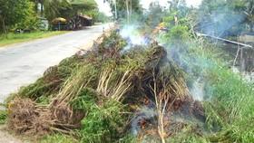 Công an huyện U Minh Thượng tiêu hủy cây cần sa. Ảnh: VĨNH THUẬN