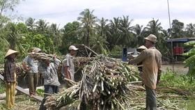 ĐBSCL: Thu hoạch mía chạy lũ bị lỗ 15 đến 20 triệu đồng/ha