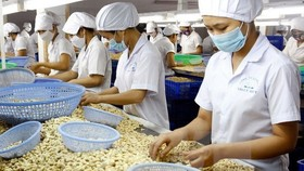 The 9th Vinacas Golden Cashew Rendezvous will be held from November 13-15 in Phu Quoc island of southern Kien Giang province (Photo: VNA)