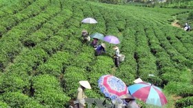 Vietnam's tea sector is aiming to export 150,000 tonnes and earn a turnover of $250 million in 2017 (Photo: VNA)