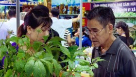 First unique fair of Ngoc Linh ginseng in Quang Nam Province
