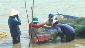 Locals harvest giant river prawn in Dong Thap province's Tam Nong district (Photo: danviet.vn)