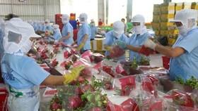 Dragon fruits for exports (Photo: VNA)
