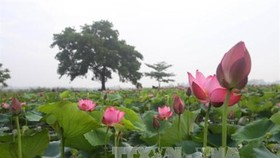 Lotus in Thua Thien-Hue (Source: VNA)