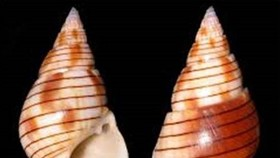 Vietnamese woman dies after eating bizarre sea snail