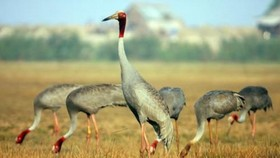 Sarus crane - Illustrative image (Source: Internet)