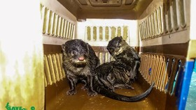 Ten Asian small-clawed otters (Aonex cinerea) are rescued from illegal traders by the Save Vietnam's Wildlife (SVW) in Nam Dinh. (Photo: SVW)