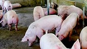 African Swine Fever spreads to 12 provinces in Vietnam