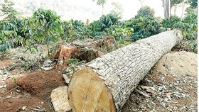 Forests in the Central Highlands has been chopped down for coffee plantation (Photo: SGGP)