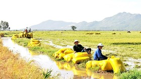 Farmers work in giant paddy field of cooperatives (Photo: SGGP)