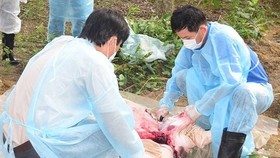 African Swine Fever continues raging Central Vietnam