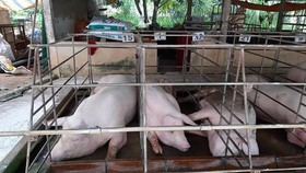 Vietnam spends $15 mln to subsidize pig breeding farms amid outbreak of ASF