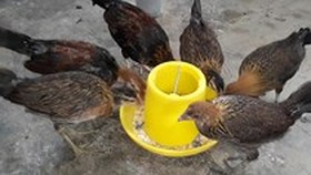 Can Tho culls infected chicken for fear of bird flu outbreaks