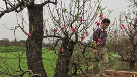 The plum and cherry blossoms are in good harvest which made farmers so excited.