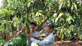 Vietnam promotes export of avocados to US market