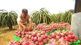 Central Group Vietnam to help farmers selling 500 tons of dragon fruit