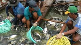 Thu hoạch cá tra tại An Giang. Ảnh: Cao Thăng