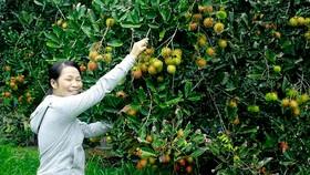 Người dân Quảng Ngãi được mùa trái cây