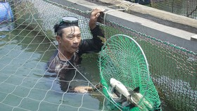 Cá nuôi lồng bè chết hàng loạt, người nuôi bán tháo giá rẻ