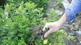 Người trồng hoa tết Quảng Ngãi lo lắng vì cây chậm phát triển