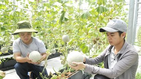 Dưa xuất khẩu trồng tại huyện Củ Chi, TPHCM. Ảnh: CAO THĂNG