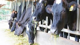 Bò sữa là vật nuôi chính của gia đình anh Ngô Văn Minh