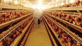 Một trang trại nuôi gà đẻ trứng trên dây chuyền tự động theo tiêu chuẩn VietGAP. Ảnh: Thu Hạnh