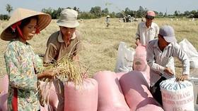Thu hoạch lúa đặc sản Nàng thơm chợ Đào tại huyện Cần Đước, Long An