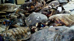Tăng nặng hình phạt tàng trữ hàng ngàn xác rùa biển