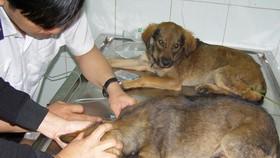 醫護人員正為狗狗注射狂犬病疫苗。