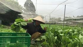 一名老農在達VietGAP標準的菜園收割蔬菜。(圖源:青海)