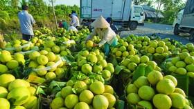 綠皮柚是檳椥省特產備受國內外市場歡迎。