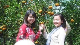 參觀遊客前往萊勇橘園賞果拍照。(圖源:成仁)