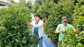 平政縣中山梅園人員正在照料梅花。