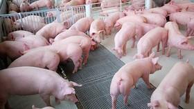 本月9日,南部東區的生豬價格每公斤降至4萬5000至4萬7000元,與兩週前相比,每公斤已下降約7000元。(示意圖源:田升)