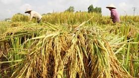 九龍江平原各省的冬春稻價格與今年2月底的時候相比,每公斤稍漲200至300元。(示意圖源:互聯網)
