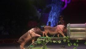 蓄養動物逐漸取代野生動物走上了馬戲台。(圖源:梅安)