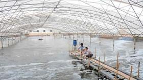 圖為茶榮省某草蝦養殖場一瞥。(示意圖源:互聯網)