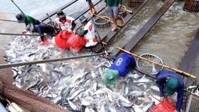 網箱養殖的查魚收穫。(圖源:越通社)